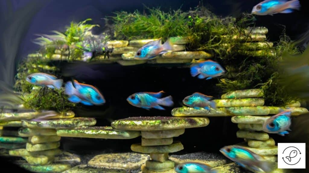 Image of tetras in a fish tank with a heater