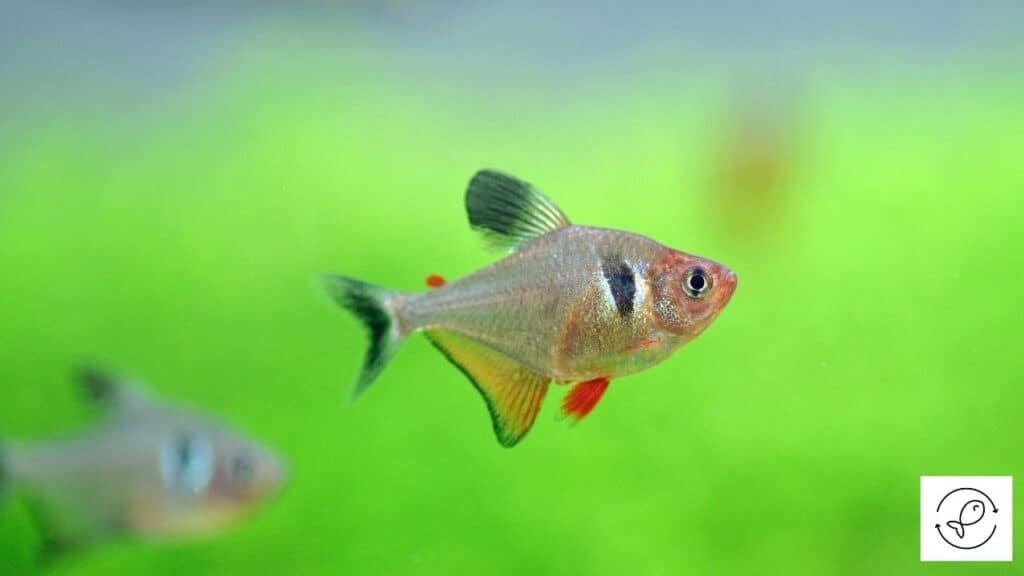 Image of tetras living in a tank with what they like and need