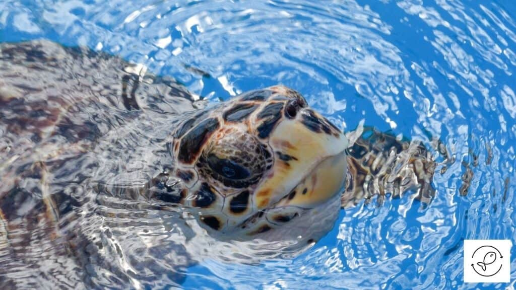 Image of a turtle in water with a heater