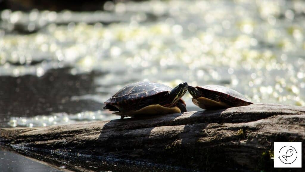 Image of turtles kissing each other