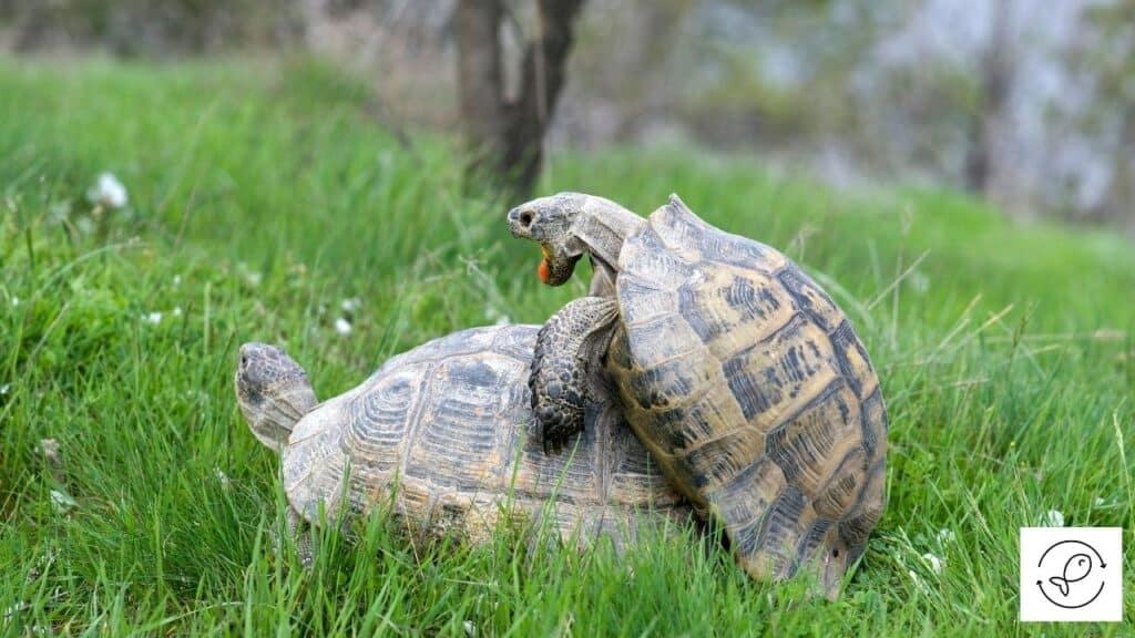 Image of turtles mating