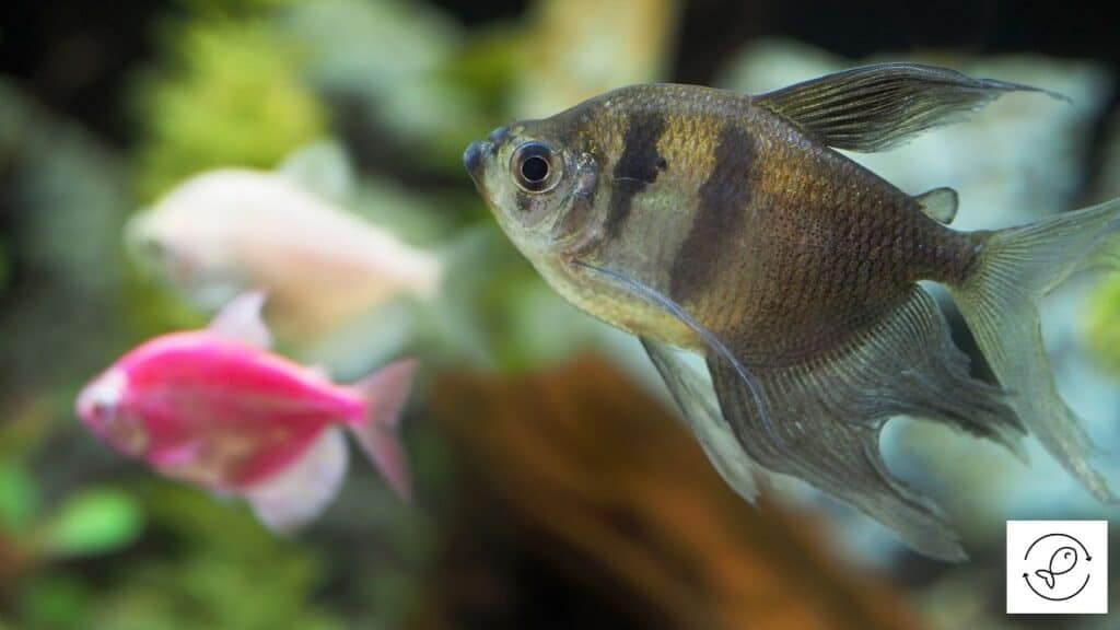 Image of a black tetra searching for food