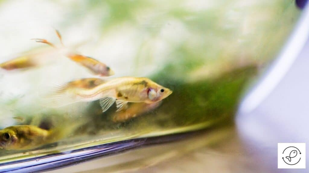 Image of guppies cleaning the tank