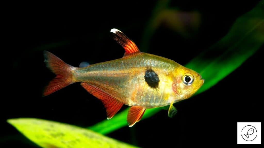 Image of a tetra swimming in the dark