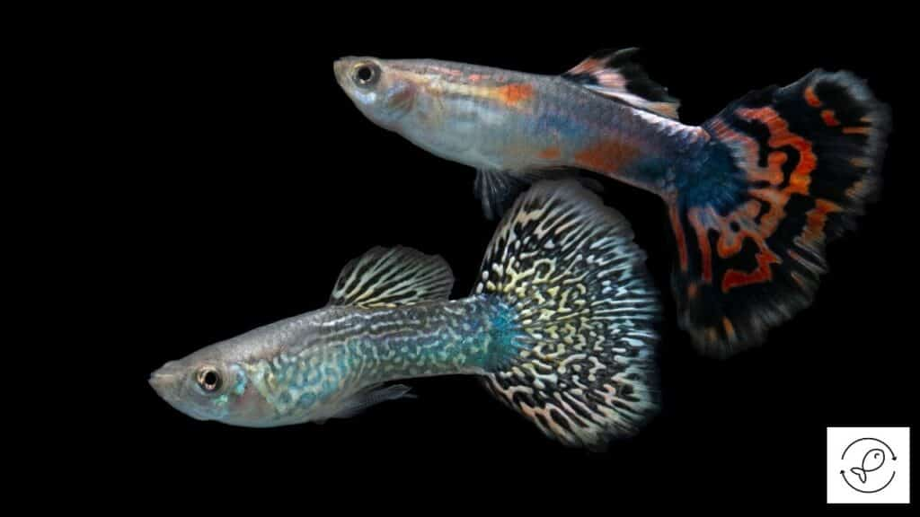 Image of two guppies swimming together