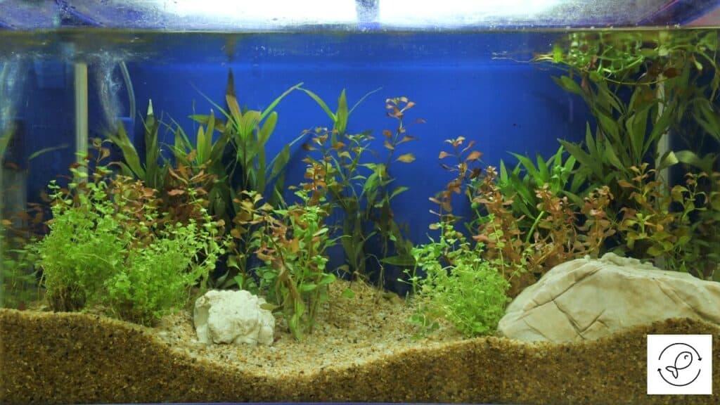 Image of an aquarium with brown algae on gravel
